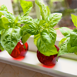 Basil Galore for Pennies!