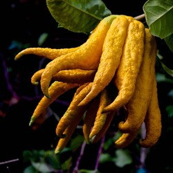 Candied Buddhas Hand Citrus Recipe