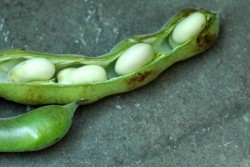Alice Waters Fava Bean Puree